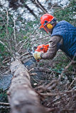 Professional Lumberjack. Cutting a big Tree in the Forest during the Winter Royalty Free Stock Photography