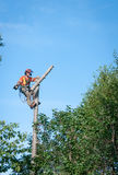 Professional lumberjack cutting tree on the top Royalty Free Stock Images