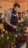 Professional male florist with beard and tattoo on his hand making a beautiful flower composition while standing at the. Counter of a flower shop royalty free stock photo