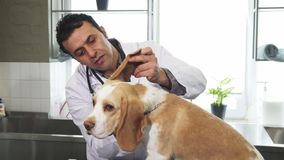 Professional male vet examining ears of cute Beagle dog. Mature handsome Hispanic male professional vet smiling examining ears of an adorable Beagle canine Stock Photo