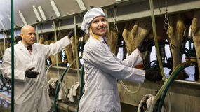 Professional milkers operating machine milking stock images