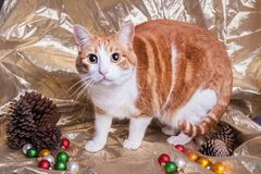 Cute wide eyed kitty cat on a Christmas themed set pine cones colored ornaments and gold background. Cute surprised wide eyed kitty cat on a Christmas themed set stock photos