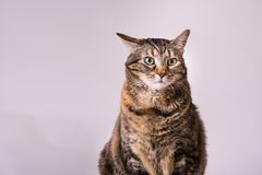 Turtle shell domestic kitty cat wide eyed ears pulled back sitting up studio portrait. Turtle shell domestic kitty cat wide eyed one ear pulled back sitting up royalty free stock images
