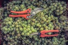 Professional scissors to perform grape harvest jobs. Freshly picked grapes denomination of origin Valtiendas in Segovia Spain. Professional scissors to perform royalty free stock photography