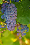 Grape berries on a vine. Close-up image Stock Photo