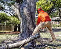 Professional Tree Remover Cuts Tree. Professional landscaper using chainsaw for final cut of huge maple tree to take down Stock Photos
