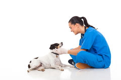 Vet pet dog. Professional vet doctor playing with pet dog isolated on white Stock Image
