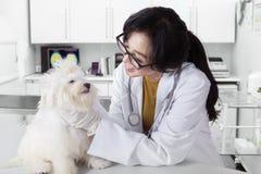 Professional veterinarian checks the dog healthy Royalty Free Stock Photography