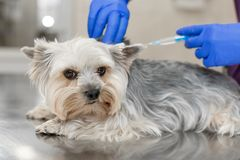 Professional veterinary doctor in blue rubber gloves do injection yorkshire terrier. Pet healthcare concept stock photography