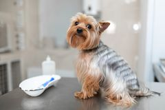 Professional veterinary doctor vaccinates a small dog breed Yorkshire Terrier. The dog at the reception in the veterinary clinic stock photos