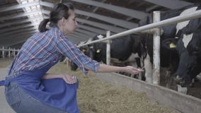 Professional young girl farmer making a tour of the barn on the farm feeding cows. Calves feeding process on modern farm. Young girl farmer making a tour of the stock footage