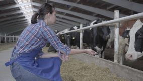 Professional young girl farmer making a tour of the barn on the farm feeding cows. Calves feeding process on modern farm. Young girl farmer making a tour of the stock video