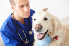 Professional young vet is examining a dog Royalty Free Stock Image