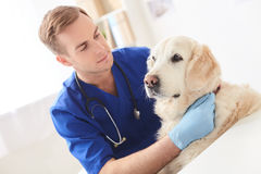 Professional young veterinarian examining state of pet Royalty Free Stock Images