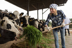 Young woman taking care of cows in cows barn. Professional Young woman taking care of cows in cows barn Stock Photography