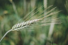 Wheat ear in green. Professionally taken picture of wheat ear taken at the Danish countryside royalty free stock image