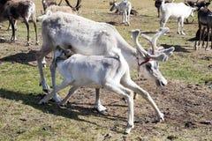 Professione d'infermiera del vitello della renna dalla madre in Mongolia del Nord immagine stock libera da diritti