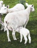 Professione d'infermiera dell'agnello della primavera Fotografia Stock