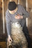 Professionele schapensnijmachine die met schapen in een schuur van Connecticut worstelen royalty-vrije stock afbeeldingen