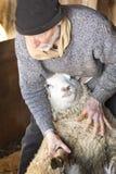 Professionele schapensnijmachine die met schapen in een schuur van Connecticut worstelen stock afbeeldingen