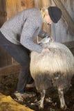 Professionele schapensnijmachine die met schapen in een schuur van Connecticut worstelen stock fotografie