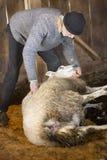 Professionele schapensnijmachine die met schapen in een schuur van Connecticut worstelen royalty-vrije stock foto