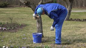 Professionele tuinman die de boomboomstam van de fruitappel met krijt vergoelijken stock video