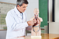 Professor Analyzing Anatomical Model At Desk. Mature male professor analyzing anatomical model at desk in classroom stock photo