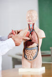 Professor Pointing At Anatomical Model At Desk Stock Photos