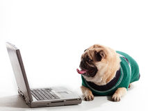 Professor Pug Royalty Free Stock Image