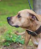 Profiel bruine Amerikaanse kuil bull terrier stock foto