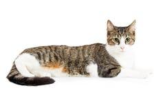 Profiel Tabby Cat Lying Down Over White Royalty-vrije Stock Foto