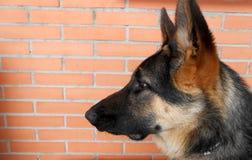 Profiel van aardige en jonge Duitse herder met baksteenachtergrond stock afbeeldingen