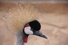Profiel van Afrikaans Grey Crowned Crane Royalty-vrije Stock Afbeelding