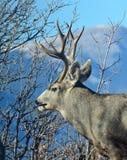 Profiel van Buck Deer Stock Afbeeldingen