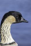 Profiel van de Hawaiiaanse gans & x28; Nene& x29; Royalty-vrije Stock Foto