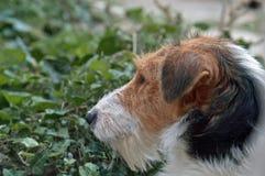 Profiel van droevige fox-terrier stock afbeelding