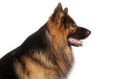 Profiel van Duitse herderhond Stock Foto's