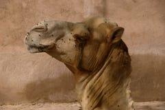 Profiel van een Afrikaanse kameel Royalty-vrije Stock Afbeeldingen