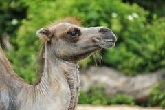 Profiel van een harige kameel in groene vegetatie stock foto's
