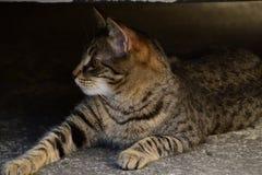 Profiel van een het liggen tijgerkat met gele ogen, kat op de rechterkant van foto Royalty-vrije Stock Fotografie