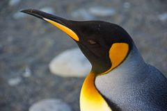 Profiel van een Koning Penguin in Zuid-Georgië Stock Fotografie