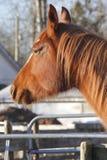 Profiel van een Ouder Paard Stock Foto
