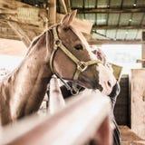 Profiel van een Paard die over een Schuurpoort kijken Stock Afbeeldingen