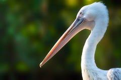 Profiel van een pelikaan Royalty-vrije Stock Foto's