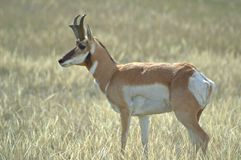 Profiel van een Pronghorn-Antilopebok Royalty-vrije Stock Afbeelding