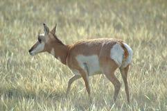 Profiel van een Pronghorn-Antilopedamhinde Stock Afbeelding