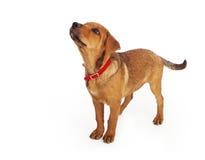Profiel van een puppy dat omhoog eruit ziet Stock Foto