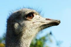 Profiel van een struisvogel Stock Afbeeldingen