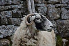 Profiel van een Swaledale-Ooi in Noordelijk Engeland royalty-vrije stock foto's